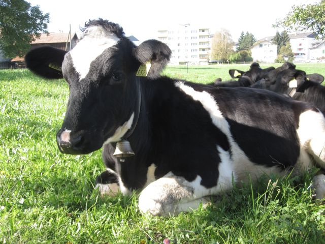Cow at Rest