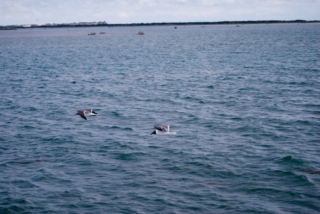 Seabirds Racing the Ferry