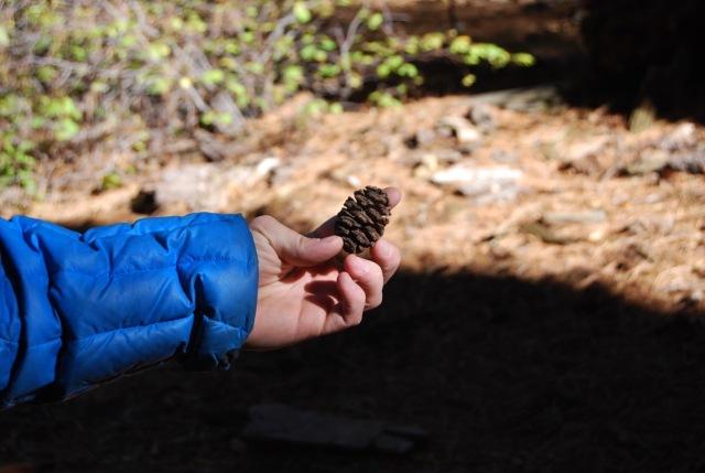 A Sequoia Cone