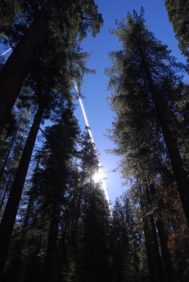 Sun in the Big Trees