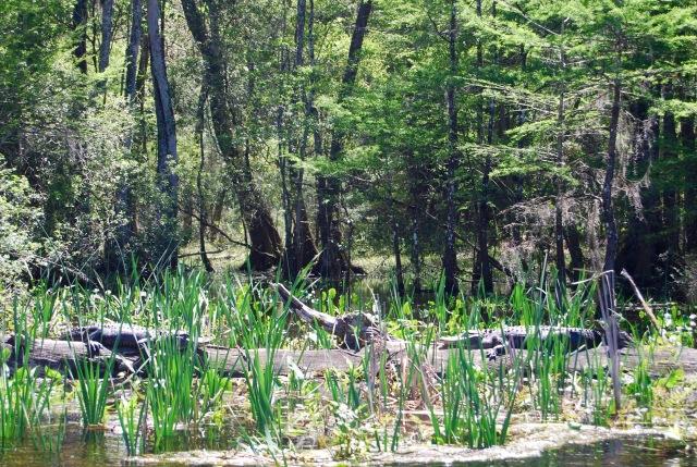 Gators on a Log