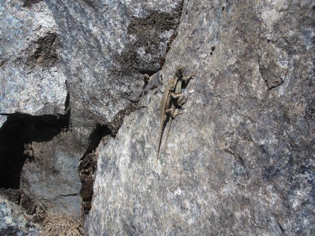 Lizard Sex