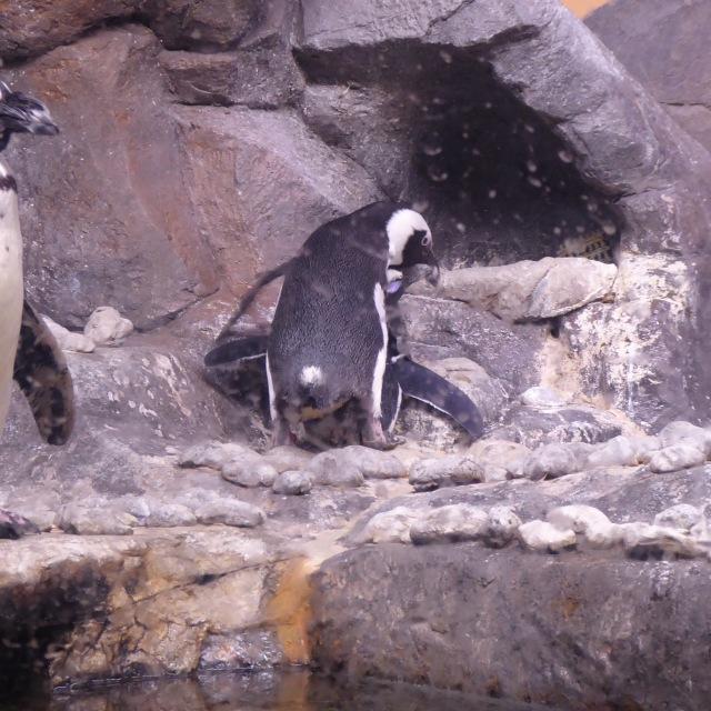 Erotic Penguin Sex