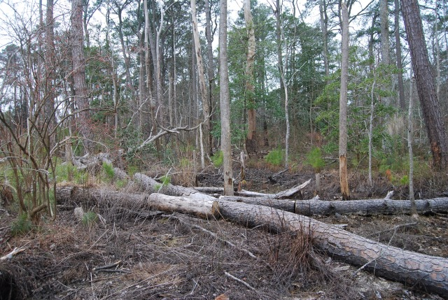 Pine Beetle Mitigation
