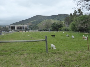 Those Cute Goats