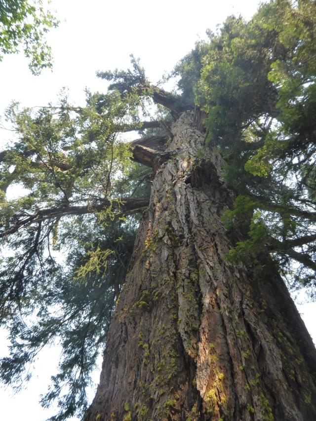 The Big Tree up Close