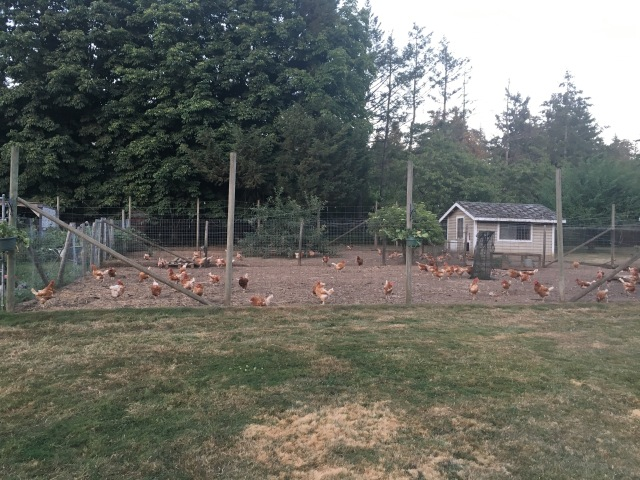 Those Chickens