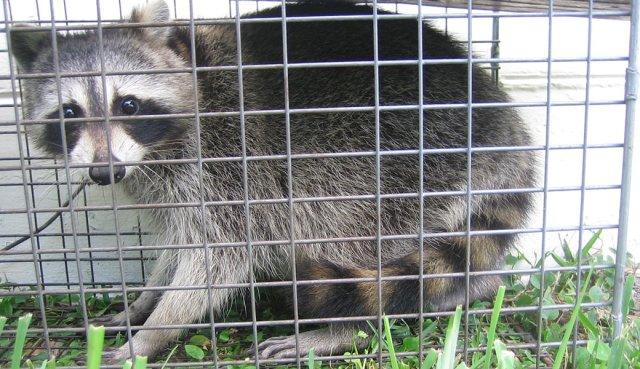 raccoon1040