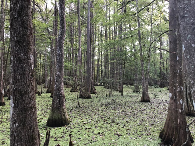 Chicot State Park Cypress Swamp 2