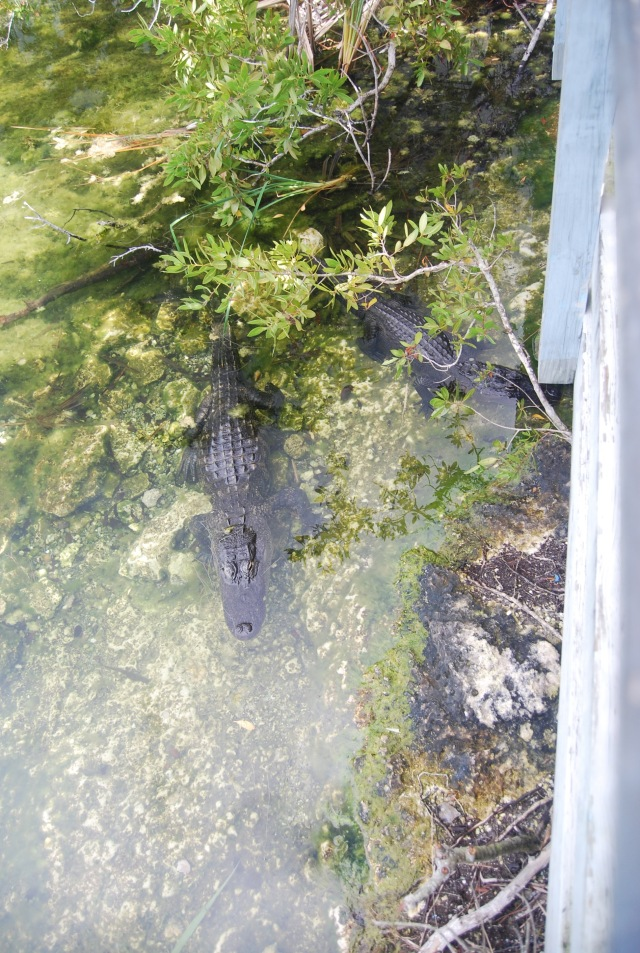 Gators at the Blue Hole