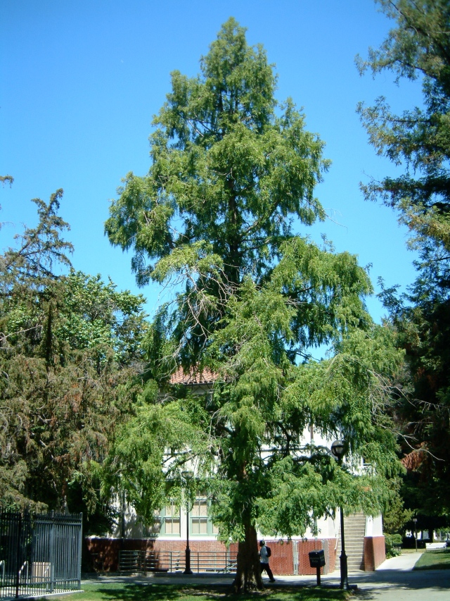 SJSU_Dawn_Redwood