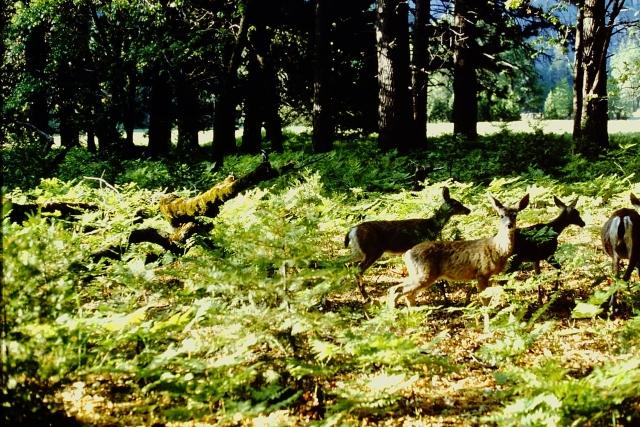 Kodak Deer